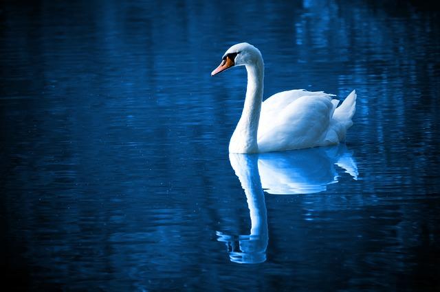 authentic self swan